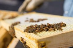 With Colony Collapse Disorder consistently chipping away at our global honeybee population, the art of beekeeping has become more important than ever.  This DIY guide to starting your own beehive should get you up and running for Spring honey.