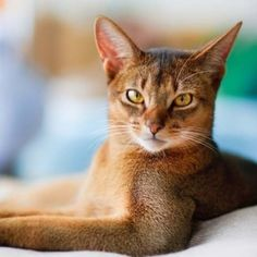 7 Best Cat #Breeds for Families ... - #Lifestyle