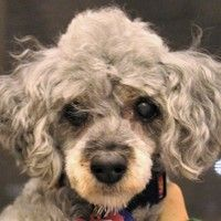 Cute Muttville mutt: Mimi 2871 (Toy poodle mix | Female | Size: small (6-20 lbs)) Age: 9-11 years old NOTE: Permanent resident of Muttville