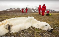 Is this starved polar bear which died as 'skin and bones' the 'categorical proof' that climate change is wiping out the species?