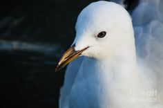 Little Seagull 1 Photograph by Naomi Burgess #seagull #animals #photography