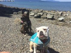 Happy 4th of July! Georgia is super happy that Washington beaches are dog friendly #not But she is excited to celebrate #murica #liberty #freedom in her birth state #washinton #americangirl #bulldog #englishbulldog #bully #frenchbo #frenchton #washingtonstate #state #bellingham #bellinghambay #wa #northwest #pnw