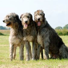 Irish Wolfhound - must have at least one around the house some day when I'm grown up. :)