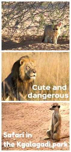 Ultimate guide to safari in Kgalagadi Transfrontier park, South Africa. Wild Camp, African Safari, Ultimate Travel, Africa Travel, Travel Couple, Wanderlust Travel, Wildlife Photography, Travel Around, Trip Planning