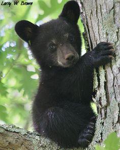Awe! so cute lil black bear cub. I love black bears especially cubs! so cute n cuddley but yet so mean! grrr...lol