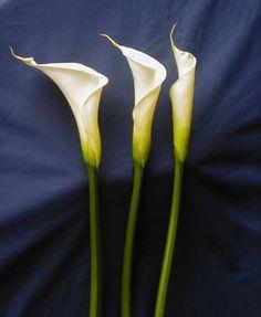 Lilys My Fav Flower