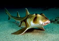 Crested Bullhead Shark - An uncommon species of bullhead shark, family Heterodontidae, occurring off eastern Australia from the coast to a depth of 305ft. Can be distinguished from other members of its family by the large size of the ridges above its eyes and by its color pattern of large dark blotches. It typically attains a length of 3.9ft. Nocturnal and bottom-dwelling, the crested bullhead shark favors rocky reefs and vegetated areas, where it hunts for sea urchins and other small…