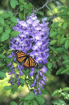 Monarch Butterfly on Wisteria, Gail Melville Shumway Photography