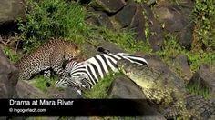 Drama at Mara River