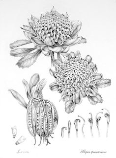 Botanical Study in Graphite - Waratah - Graphite / Finalist Margaret Flockton Award, Red Box Gallery, Sydney Botanic Gardens Botanical Tattoo, Botanical Drawings, Botanical Prints, Botanical Gardens, Graphite Art, Graphite Drawings, Plant Illustration, Botanical Illustration, Australian Wildflowers