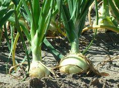 Cómo plantar las cebollas