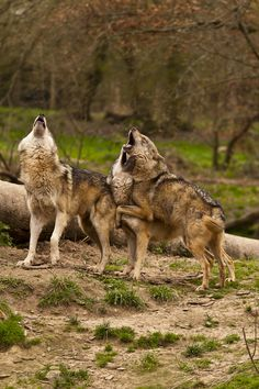 Wolves howling