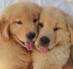 Golden Retriever Puppy Buddies