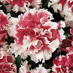 Petunia 'Pirouette Red' - Fully double and super frilly this petunia is sure to stand out.