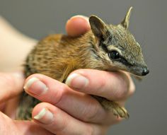 Found abandoned and separated from his mother, Frankie the orphaned Numbat is receiving expert care from keepers at Australia's Perth Zoo.  More at ZooBorns.com and at http://www.zooborns.com/zooborns/2016/09/orphaned-numbat-gets-expert-care.html