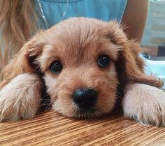 Looks like my pup. Little cocker spaniel. Animals And Pets, Baby Animals, Funny Animals, Cute Animals, Cute Puppies, Cute Dogs, Dogs And Puppies, Doggies, Best Dog Breeds