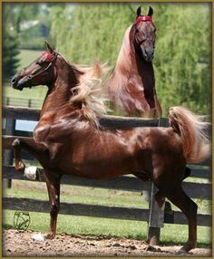 Charmed and Bewitched...American Saddlebred