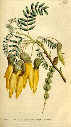 Sophora tetraptera The Botanical magazine or Flowergarden displayed 17921793 Sl Biodiversitylibrary Biodivlibrary BHL Biodiversity Heritage Library Vintage Botanical Prints, Botanical Drawings, Antique Prints, Vintage Prints, Vegetable Illustration, Plant Illustration, Botanical Illustration, Botanical Flowers, Botanical Art
