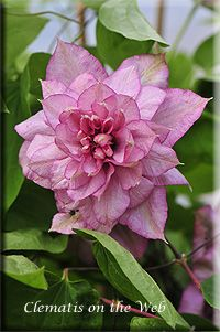 Innocent Glance clematis