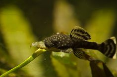 bushy nose pleco - cute