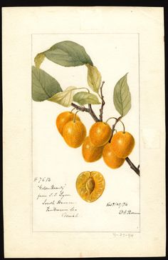 """Artist: Passmore, Deborah Griscom, 1840-1911  Scientific name: Prunus avium  Common name: cherries  Variety: Golden Beauty   """"U.S. Department of Agriculture Pomological Watercolor Collection. Rare and Special Collections, National Agricultural Library, Beltsville, MD 20705"""""""
