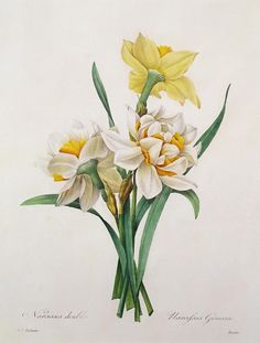 Narcissus Gouani Double Daffodil by Pierre Joseph Redoute