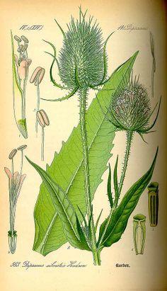 Dipsacus fullonum L. [as Dipsacus sylvestris Huds.] Fuller's Teasel, teasel, wild teasel Thomé, O.W., Flora von Deutschland Österreich und der Schweiz, Tafeln, vol. 4: t. 563 (1885)