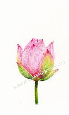 2013_07_21_lotus_02_spink lotus  for this drawing I used: Faber castell polychromos Stonehenge paper  © Belta(WAKABAYASHI Mayumi )