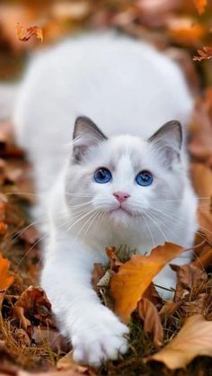 not the clearest pin but so cute..Blue eyes