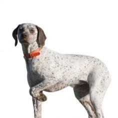 Questo cane ha ottime capacità venatorie, in quanto riesce a coprire facilmente diversi tipi di terreno ed è dotato di grande coraggio. Ha naturali doti di cane da ferma. Con il padrone è abbastanza ubbidiente e molto affettuoso. E' un cane particolarmente calmo ed equilibrato.