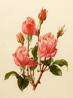 """""""Queen Elizabeth"""" is a 1960's botanical rose tip-in book plate by Swiss watercolor artist Anne-Marie Trechslin. The Queen Elizabeth rose is a very beautiful flower of a clear pinky red colour, free flowering, as suitable for cutting as for massed effect."""