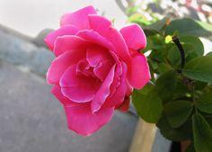 Άστα τα μαλλάκια σου... Rose, Amazing, Flowers, Plants, Pink, Plant, Roses, Royal Icing Flowers, Pink Hair