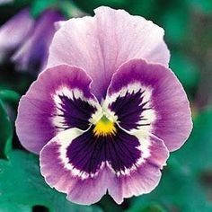 """How strange. I have always loved pansies because my mom painted them on everything, this year I asked for and got a (real) pansy necklace for Christmas. Come to find out pansies are the symbol for Freethought. """"The pansy derives its name from the French word pensée, which means """"thought""""; it was so named because the flower resembles a human face, and in mid to late summer it nods forward as if deep in thought."""""""