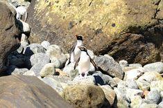 Fiordland Crested Penguins, Milford Sound, Fiordland, New Zealand