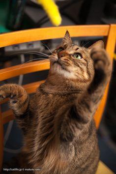 猫じゃらしと遊ぶ