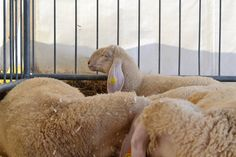 Pecore! Fiera di Sant'Alessandro 2014 - Fiera di Bergamo