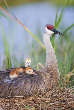 Sandhill Crane and her chicks (Grus canadensis) is a large Crane of North America and extreme Northeast Siberia