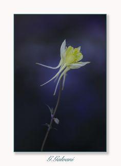 Aquilegia chrysantha - Yellow Queen...