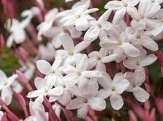 Diese Pflanzen helfen dir dabei, besser zu schlafen: Pinker Jasmin