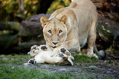 lion mother