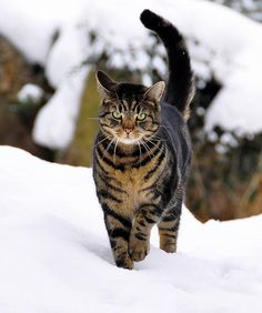 Norwegian Forest Cat in Snow by Terje Håheim (thaheim), via Flickr