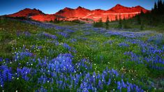Meadows Meadow Alps Flower Landscape Nature Mountain Flowers Sunset Flowering Wallpaper High Resolution