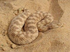 Sahara sand viper!!! Had they not been designed to injected fatal venom into most anything they come across... I would definitely have one of these beauts.