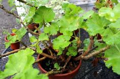 How to Propagate Geraniums for the Winter via A Garden for the House