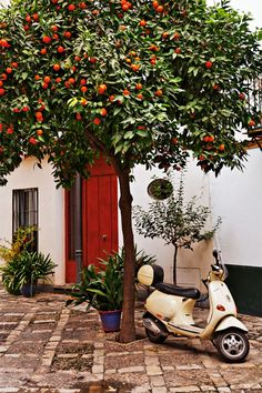 Some 14,000 orange trees decorate the streets of Seville. The bitter oranges aren't very good for eating, but because of their high content of pectin, they do make great orange marmalade. More important, orange trees provide shade from the fierce Andalusian sun, and in the springtime, when they bloom, the heady perfume of orange blossoms fills the air. Photo ©Mike Randolph