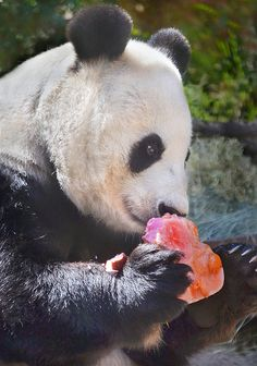 Panda mom Bai Yun enjoys a heart-shaped Valentine treat.