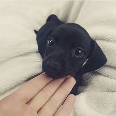 """Excellent """"Dachshund dogs"""" info is readily available on our internet site. Check it out and you wont be sorry you did. Dachshund Puppies, Dachshund Love, Cute Puppies, Dogs And Puppies, Cute Dogs, Doggies, Cute Little Animals, Cute Funny Animals, Funny Dogs"""