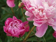 Pink Peony, via Flickr.