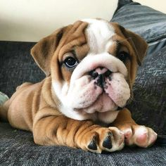 How can anyone not fall in love with a bulldog nugget? (: How can anyone not fall in love with a bulldog nugget? Cute Bulldog Puppies, Baby Bulldogs, Cute Bulldogs, English Bulldog Puppies, Cute Dogs And Puppies, Baby Puppies, English Bulldogs, Doggies, Funny Animal Pictures