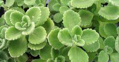 Succulents, Fruit, Plants, Gardening, Decor, Decoration, Lawn And Garden, Succulent Plants, Plant